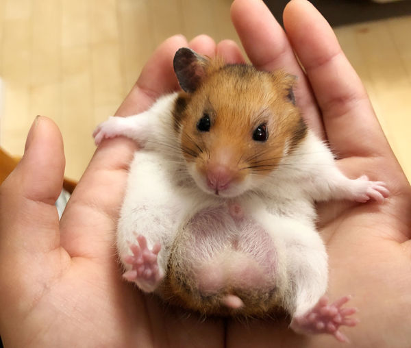 Cropped image of hand holding hamster