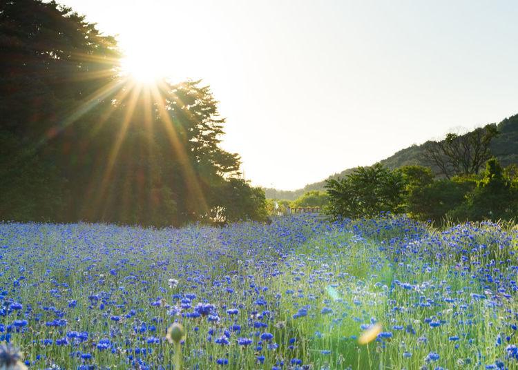 Gwangju Light Sunset Silhouettes Beauty In Nature Field Flower Flower Head Landscape Nature Outdoors Sunset