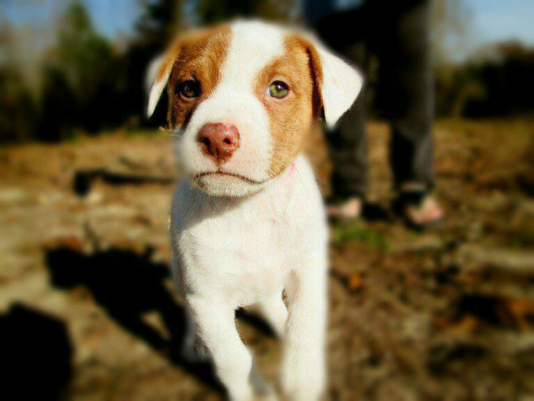 My cute and adorable puppy. Adorable Puppy Animal Themes Close-up Cute Dog  Cute Puppy Day Dog Domestic Animals Focus On Foreground Looking At Camera Mammal Mountain Cur Puppy One Animal Outdoors Pets Portrait White Puppy White Spotted Puppy
