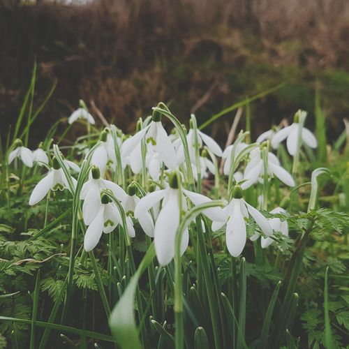 Jewels in the depths of Winter Growth Nature White Color Flower Snowdrop Field Plant Beauty In Nature Freshness Close-up No People Grass Green Color Day Fragility Outdoors Flower Head Snowdrops Clump White Flower White Flowers Winter Wintertime Winter Nature Signs Of Spring