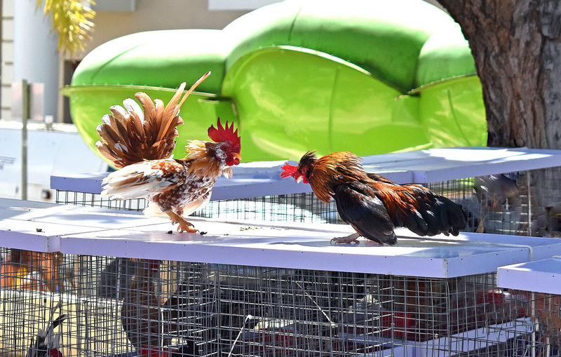 Rooster Fight Over Space On Top of Cage Animal Themes Animal Bird Group Of Animals Domestic Animals Pets Domestic Vertebrate Mammal Day Livestock No People Animal Wildlife Two Animals Nature Chicken - Bird Animals In The Wild Chicken Outdoors Focus On Foreground Territorial Territorial Behavior Rooster Fight Rooster Fighting Farm Animal Farm Animals Roosters And Hens Birds Bird Photography Poultry Winner Farm Life Chickens Island Life Caribbean Life Caribbean Island Birds Fighting Fighting Roosters Fighting Birds Country Life Chickens Are Pets