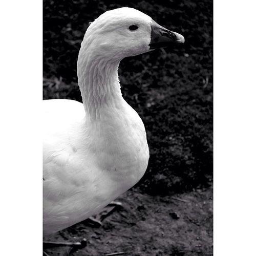 Goose Whatagoose