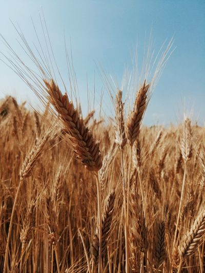 Wheat Cereal Plant Rural Scene Agriculture Field Cultivated Crop  Wholegrain Sky Close-up Countryside Farmland Straw