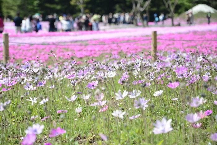 flower 本栖湖 アネモネ 芝桜 Flowers
