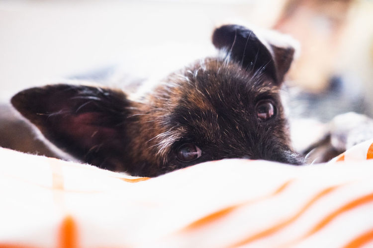 One Animal Mammal Animal Themes Animal Domestic Pets Domestic Animals Vertebrate Canine Dog Selective Focus Relaxation Indoors  Close-up No People Animal Body Part Lying Down Furniture Resting Bed Animal Head  Small