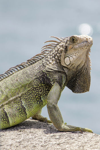 A Wild Iguana is perched on a platform overlooking a bay on the island of San Juan, Puerto Rico San Juan San Juan PR San Juan Islands Puerto Rico Puertorico Wildlife Wild EyeEm Nature Lover Animal Iguana Lizard Green Color Green Scales Bay Water Perching Sunning Spikes Close-up