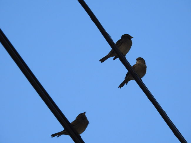 birds on wires. Low Angle View Bird Perched Blue Sky Silhouettes Bird Silhouettes Nature_collection Birds On Wire From Below Wires And Sky Birdwatching Nature Photography Birds_collection Wires In The Sky No People Bird Photography Bird On A Wire Diagonal Lines Wires Bird Silhouette