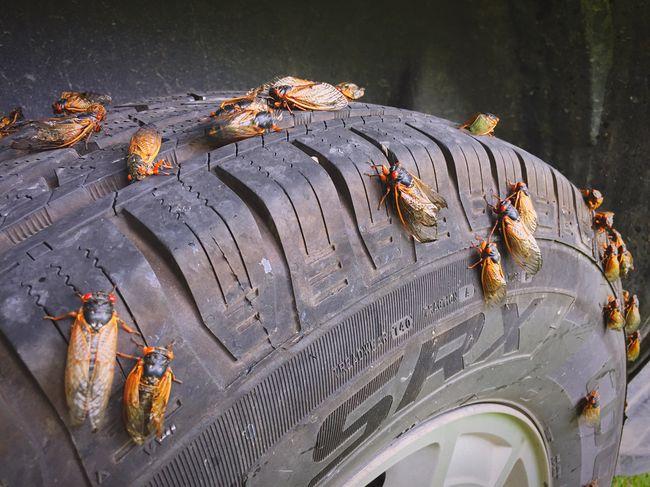 They've arrived. Cicada Cicadas Cicadas2016