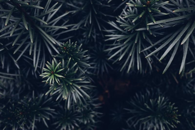 Dark green plant Green Plant Pantone Green Color Green Plant Growth Green Color Tree Nature Leaf Plant Part No People Beauty In Nature Close-up Branch Coniferous Tree Needle - Plant Part Outdoors Selective Focus Tranquility