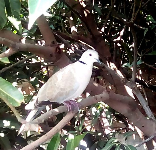 pigeon Bird Animal Wildlife One Animal Tree White Color Animals In The Wild Branch Animal Themes Day Nature Leaf No People