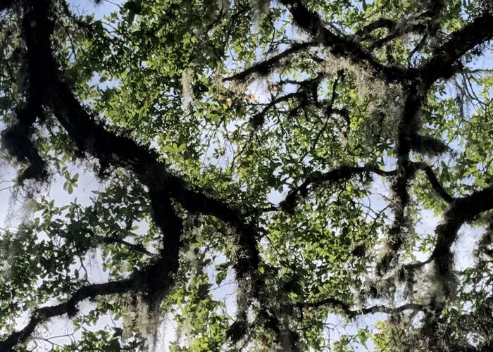 Live oak limbs silhouetted by the sky. Tree Live Oak Tree Trunk Tree Limbs Silhouette Low Angle View Tree Canopy  Full Frame Forest Day Branch Horizontal Nature Growth Perspectives On Nature