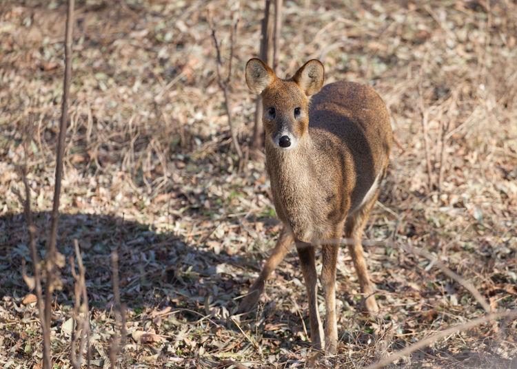 Deer Hydropotes Inermis Water Deer Chinese Water Deer Hydropotes Inermis Musk Deer Vampire Deer