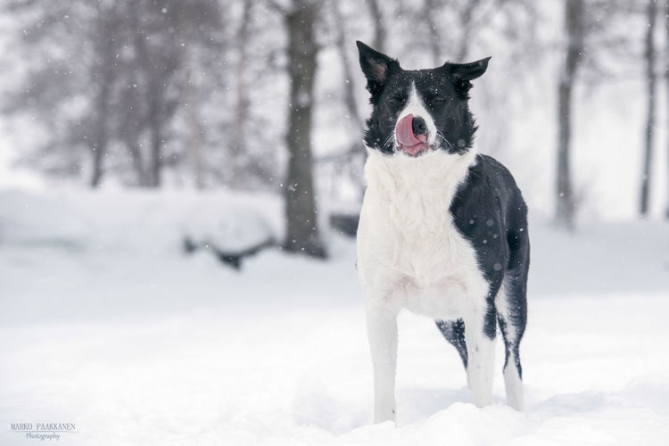 Border Collie Lips Animal Animal Themes Canine Cold Temperature Covering Day Dog Domestic Domestic Animals Field Land Mammal Mouth Open Nature No People One Animal Pets Snow Snowing Vertebrate White Color Winter
