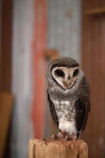 Owl Owl One Animal Bird Animal Wildlife Animals In The Wild Vertebrate Focus On Foreground Bird Of Prey Close-up No People Owl Perching Day Wood - Material Looking Beak Outdoors Front View