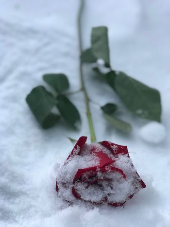 Wishing everyone a fantastic New Year filled with peace , love, happiness & most importantly Health!♥️🌹 Photo Montréal Freezing No Edit/no Filter Popular Photos Peace Love New Year Photooftheday Message Rose - Flower Flowers From My Point Of View Fragility Snow Cold Temperature Winter White Color High Angle View No People Frozen Nature Red Day