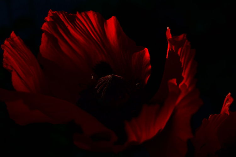 Beauty In Nature Blooming Blossom Close-up Day Evening Light Flower Flower Head Fragility Freshness Growth In My Garden Last Sun Nature No People Outdoors Petal Plant Poppy Evening Light Poppy Flower Poppy Flowers Red Red And Black Red And Black Colour Red Flower