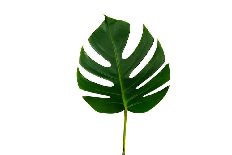 Monstera leaf isolated on white background with clipping path. Palm leaf, Real tropical jungle foliage Swiss cheese plant. Art and watercolor concept. Flat lay and top view. Leaf Palm Tropical Monstera Isolated Background Plant White Jungle Green Nature Foliage Summer Exotic Garden Decor Botanical Forest Minimal Floral Natural Fresh Path Clipping Pattern Spring Beautiful Beauty Tree Flora Branch Botany Lay Frond Philodendron Flat Ornamental Style Hipster Greenery Top View Large Season  Lush Design Creative Trendy Fashion Texture