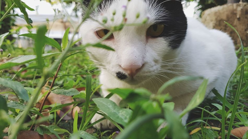 Hunter's Eyes Hu Nter Omnivore Cat Cat Eyes Cat Eyes Watching You One Animal Animal Pets Feline Domestic Cat Mammal Plant Portrait Looking At Camera Nature Day Outdoors Leaf Animal Themes No People Domestic Animals Grass Close-up