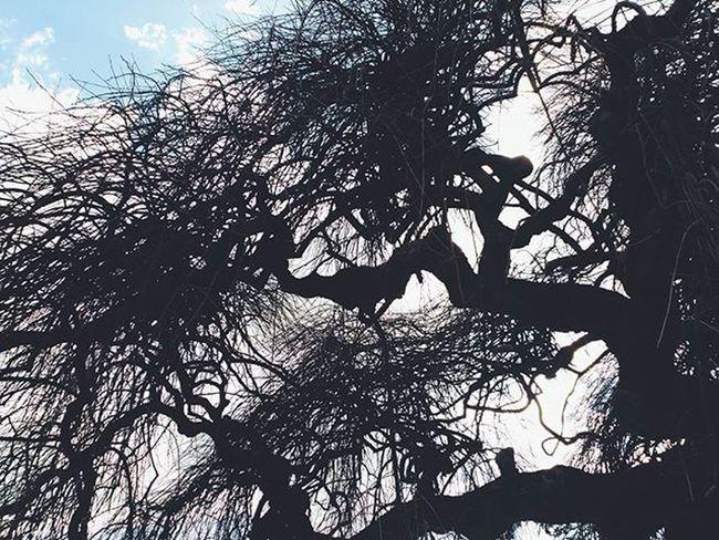 Lightning tree. Lugo Galicia SPAIN Igerslugo Prazamaior