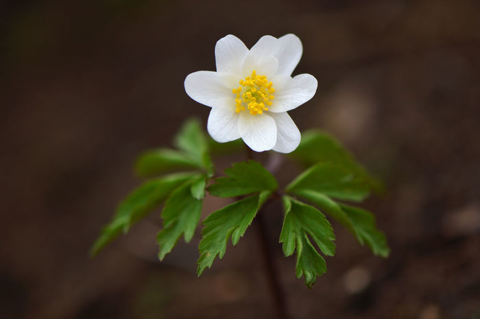 Windflower... Anemone Beauty In Nature Close-up Contradiction Day Flower Flower Head Flowers Fragility Freshness Growth Low Angle View Macro Macro_flower Nature No People Outdoors Petal Pistil Plant Single Object Spring Spring Is Coming  Windflower