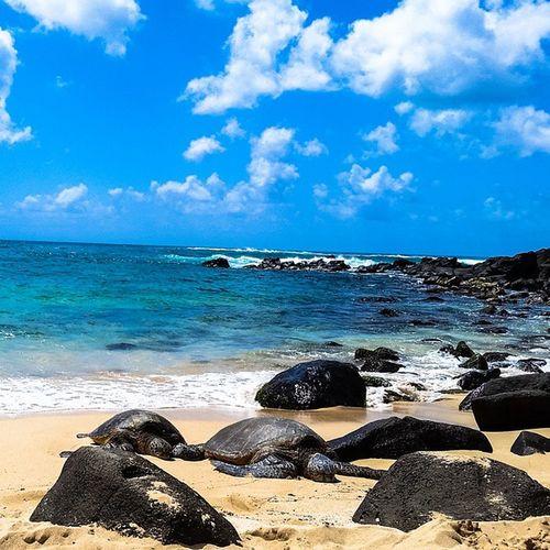 Loved seeing these turtles at Laniakea Beach in Haleiwa, HI! Such a beautiful beach! Oahu Hawaii Travel Laniakea Beach Explore Turtles Wanderlust Ocean