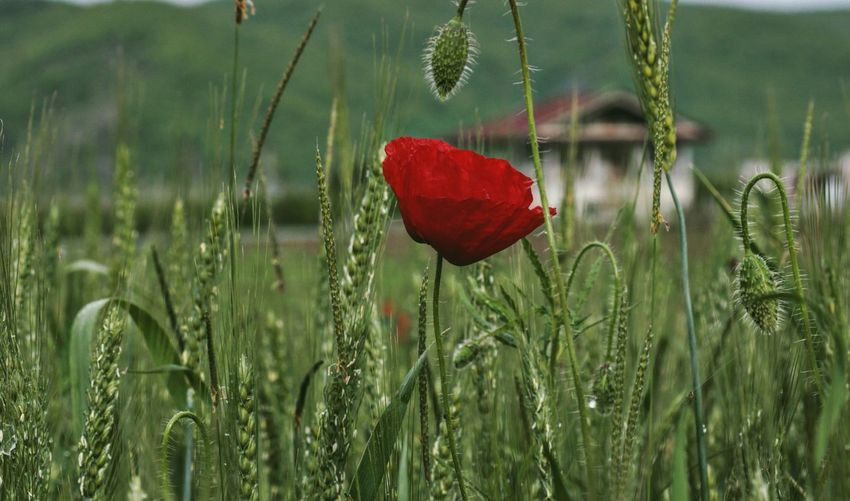 Flower Collection Taking Photos Wheat Field Wheat Feeling Creative OpenEdit EyeEm Best Shots Freshness EyeEm Nature Lover Nature Flower Poppy Red Flower Head Close-up Grass Plant In Bloom Blooming