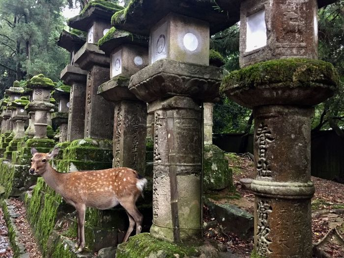 Deer Nature Old Ruin Temple Nara Lost In The Landscape