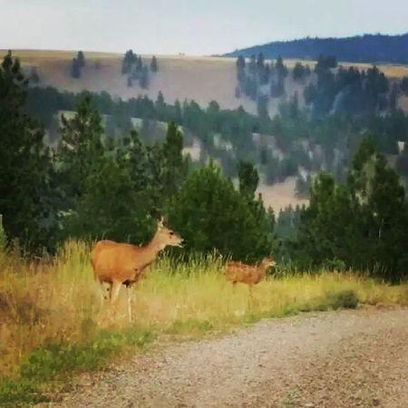 Deer Mountain Deer Dirtroads Fawn cute trees wildlife