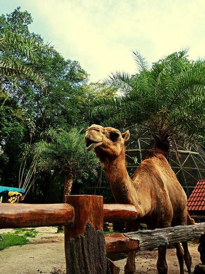 Camel Transportation Camel Riding Green Brown Desert Nature Wildlife Camel Hump Arab Tree Sky Zoo Cage Camel Fence Llama Herbivorous First Eyeem Photo