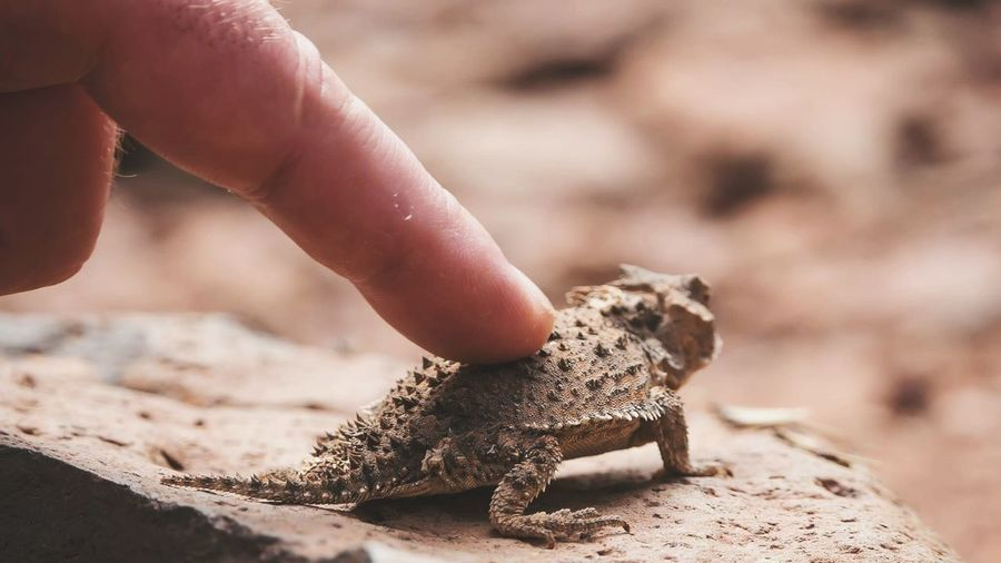 Cropped Image Of Hand Touching Horned Toad On Rock