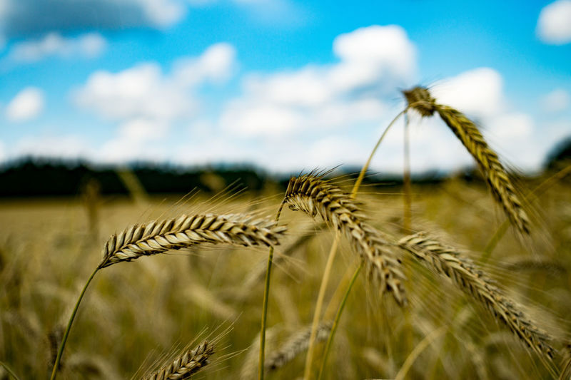 Cereal Plant Agriculture Nature Sky Close-up No People Rural Scene Wheat Scenics Focus On Foreground Landscape Cereal Blue Plant Backgrounds Cereals Landscape_photography Cereal Field CerealesPower In Nature Freshness Beauty In Nature Landscape_Collection Food Field Food Stories