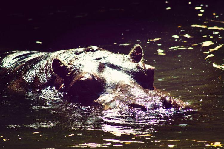 Zoo Zoo Animals  Hipopotamó