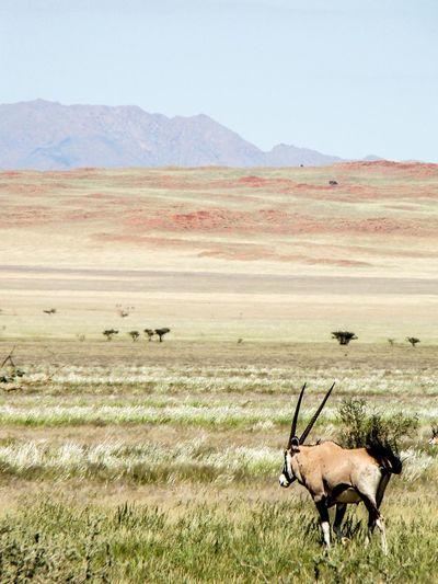 Gemsbok grazing on field against sky