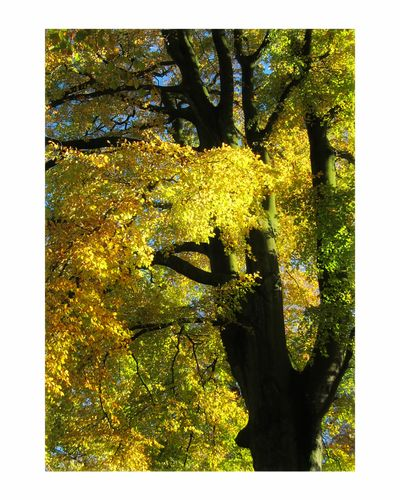 Autumn gold Yellow Tree Day Outdoors Sky Painted Image No People Nature Forest Textured  Sunlight Autumn🍁🍁🍁 Gold Beauty In Nature Chorley Astley Park Tree Lovelancashire Nature Growth Leaf Autumn