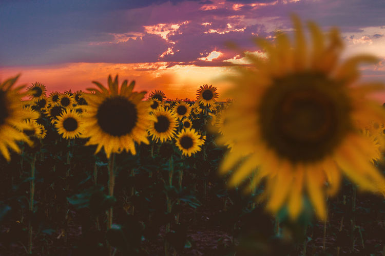 Sunset Nature Flower Close-up Beauty In Nature Plant Growth Fragility Social Issues No People Flower Head Outdoors Freshness Day Sunflower