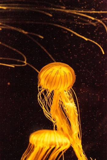 Japanese sea nettle jellyfish Chrysaora pacifica has long tentacles and is found in the Northern Pacific Ocean. Chrysaora Pacifica Japanese Sea Nettle Jelly Fish Tentacles Close-up Golden Jellyfish Jelly Jellyfish Long Tentacles Marine Life No People Ocean Sea Sea Life Sea Nettle Swimming Tentacle Underwater Venomous Water Wildlife