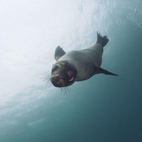 Seal swimming undersea