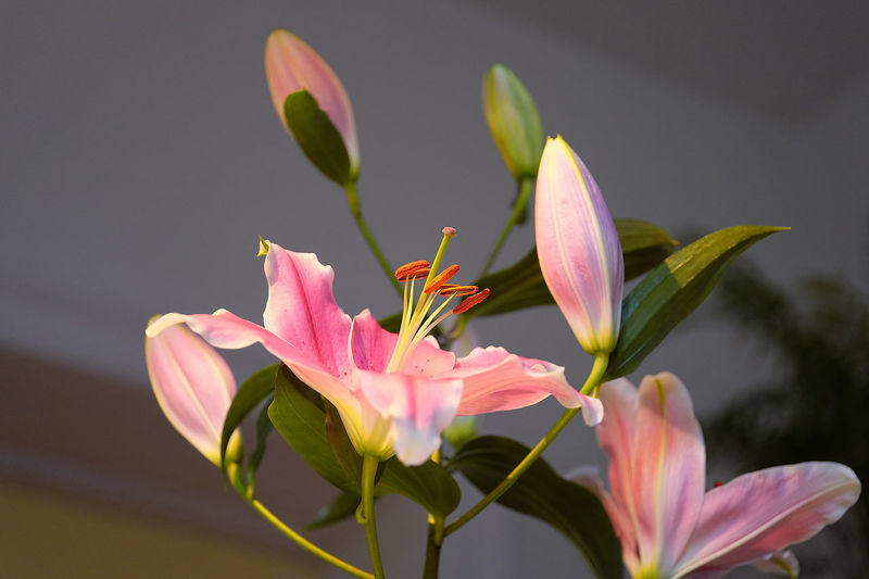 Close-Up Of Pink Lilies Blooming Outdoors