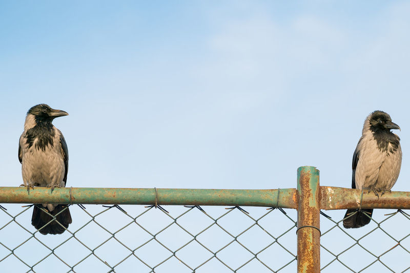 Crows Perching On Chainlink Fence Against Sky