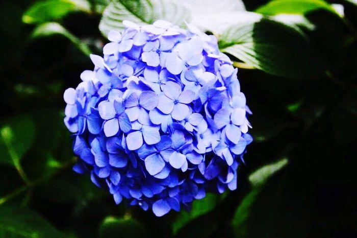 Hydrangea Violet Flower First Eyeem Photo