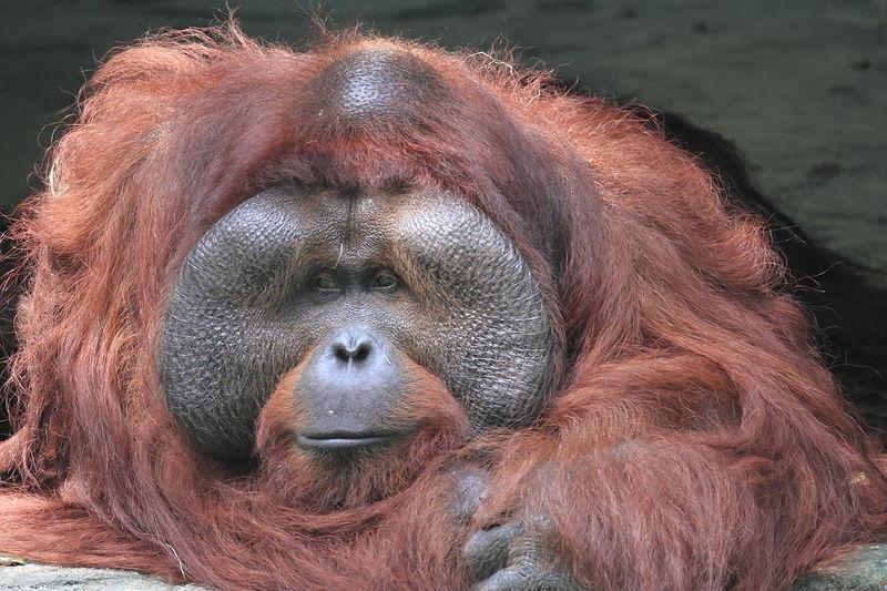 Close-up of orang utan face  in zoo