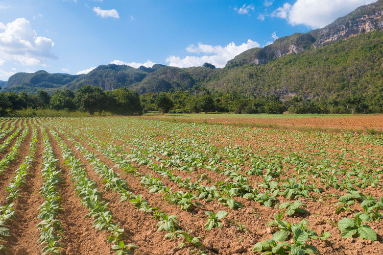 Cuba Tobacco Viñales Agriculture Beauty In Nature Cloud - Sky Day Farm Field Freshness Growth Landscape Mountain Mountain Range Nature No People Outdoors Plantation Rural Scene Scenics Tranquil Scene Tranquility Valley Vinales Cuba Viñales Valley