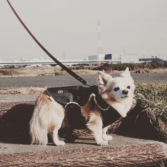 Gr2 RICOH GR 2 Ricoh Gr Gr Gr Ii Dog Chihuahua チワワ Bausch