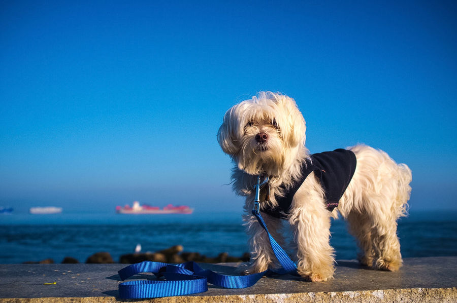 Winston by the Bay Maltese Dog Pet Photography  Cute Pets Dogs Water San Francisco San Francisco Bay