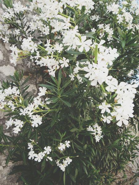 Kwiaty Chorwacja Najlepiej Perfect