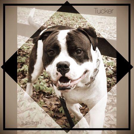 Tucker AmericanBulldog Ambull