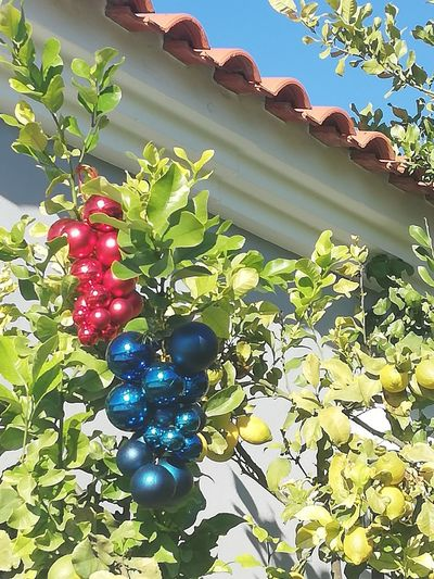 Lingonberries and blueberries Lingonberries Humourous Blueberries Red Tree Fruit Blue Leaf Sunlight Close-up Plant Green Color