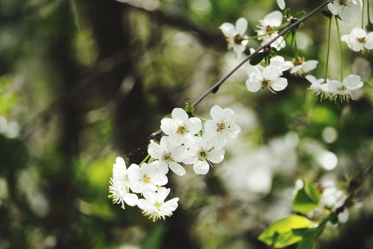Bokeh Bokeh Photography Tree Flower Branch Flower Head Springtime Blossom White Color Botany Close-up Apple Blossom Apple Tree In Bloom Twig Blooming Plant Life