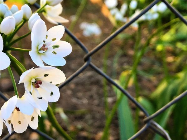White Flower Urban Gardening Flower Growth Allium Neapolitanum White Color Focus On Foreground Fragility Close-up Nature Beauty In Nature Petal Flower Head Freshness Allium Allium Flower Springtime Tree Garden Flowers Spring Metallic Fence Fence Garden Stamen Contrast