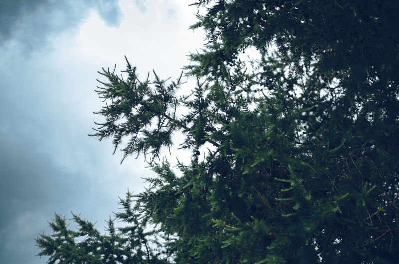 Below view of a larix tree with a cloudy sky in the background Branches Cloudy Freshness Tree Trees View From Below Backgrounds Beauty In Nature Cloud - Sky Coniferous Tree Fresh Full Frame Growth Larix Low Angle View Nature No People Outdoors Scenics - Nature Sky Summer Texture Tranquil Scene Tranquility Tree Canopy